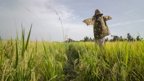 Scarecrow wear Malay traditional clothes standing in rice paddy field.