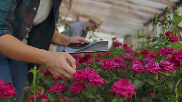 Thumbnail for Two People a Man and a Woman with a Tablet Computer Inspect Flowers in a Greenhouse on a Rose