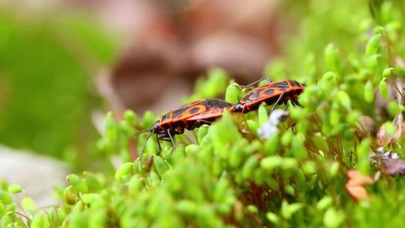 Firebug, Pyrrhocoris Apterus, Is a Common Insect of the Family Pyrrhocoridae.