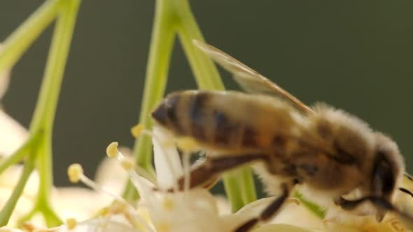 Cover Image for Bee Collecting Pollen From a Flower of the Tree