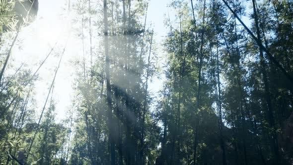 Thumbnail for Lanscape von Bambusbaum im tropischen Regenwald, Malaysia
