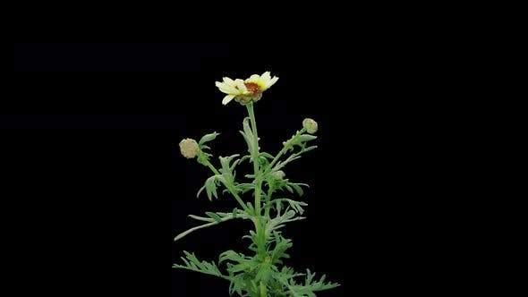 Thumbnail for Time-lapse of opening white chamomile flower