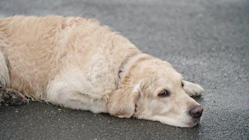 Obedient Golden Retriever Dog