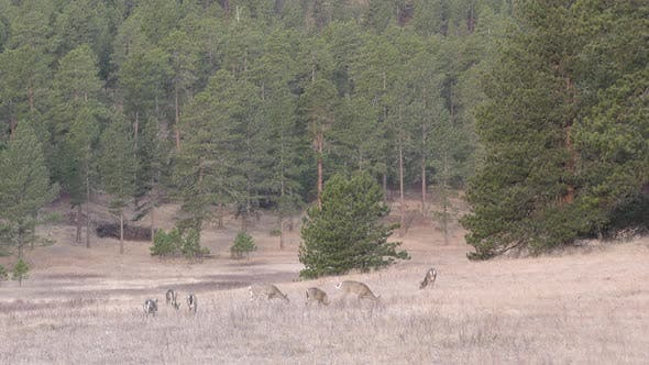 Thumbnail for White-tailed Deer Herd Eating in Spring in Clearing in Ponderosa Pine Forest Black Hills