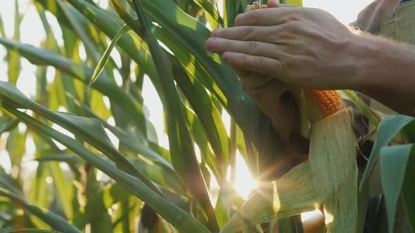 Keep Heads of Corn in the Sun