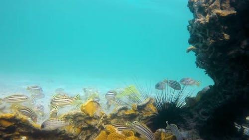 Shoal of Sweetlips Fish