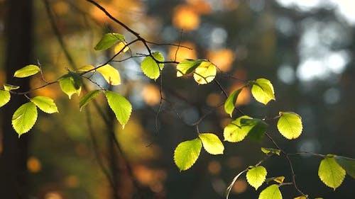 Fresh Birch Leaves in Solar Beams