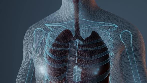 Small Intestine in Male Human Body