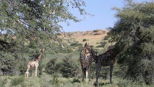 Cute Giraffes in kalahari, South Africa wildlife