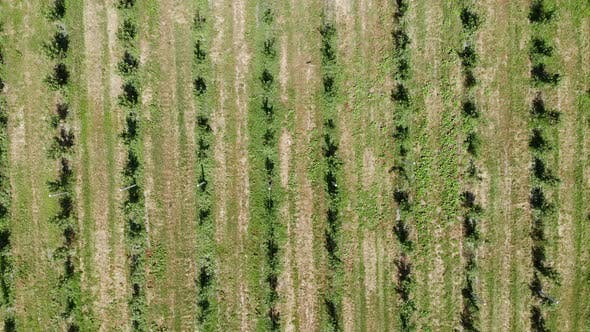 Aerial View on Top. Apple Plantation. The Cultivation of Apples. Panorama Apple Orchard Shooting