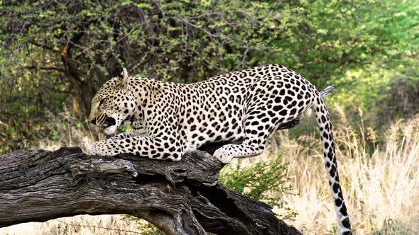 Thumbnail for Wildlife Leopard in Africa