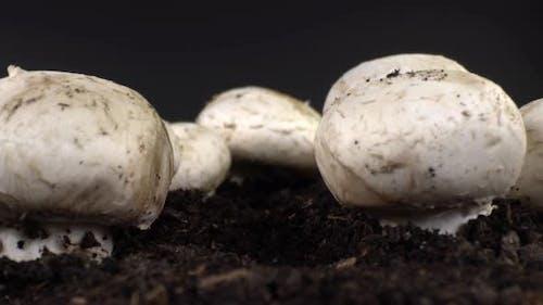 Cultivated Mushroom 2