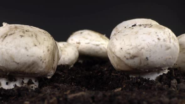 Kultivierter Pilz 2
