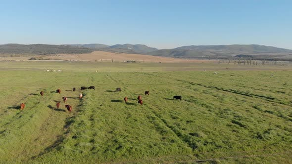 Thumbnail for Aerial View of Meadow and Herd of Cows