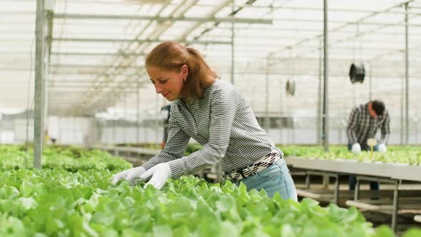 Thumbnail for Female Agricultor Working in a Greenhouse with Humidyfying System