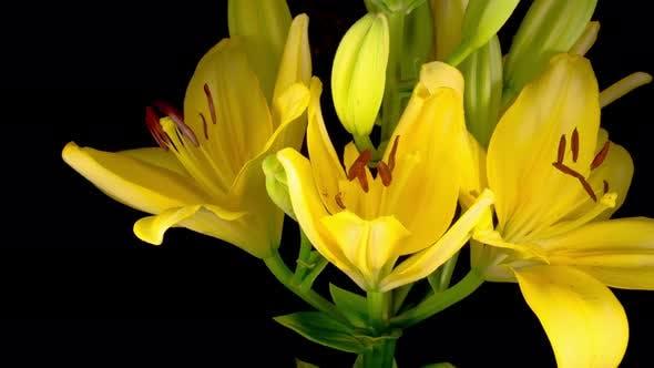 Thumbnail for Zeitraffer der schönen gelben Lilienblüten