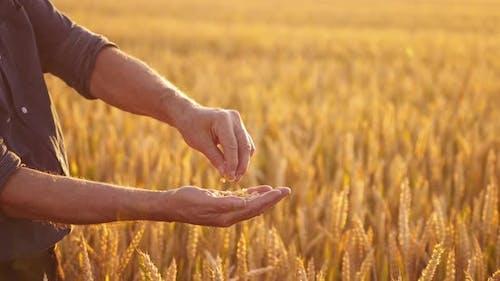 Wheat grains in man's hands