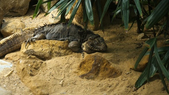 Iguana crawling in the terrarium