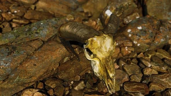 Ram Skull on Desert Rocks