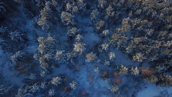 Thumbnail for Flying Over the Snowy Tops of Trees of a Winter Pine Forest on a Sunrise