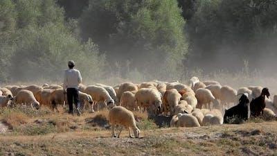 Young Shepherd of the Sheep Flock Walks Among the Sheeps