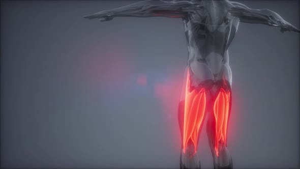 Thumbnail for Thigh Muscles - Visible Muscle Anatomy Map