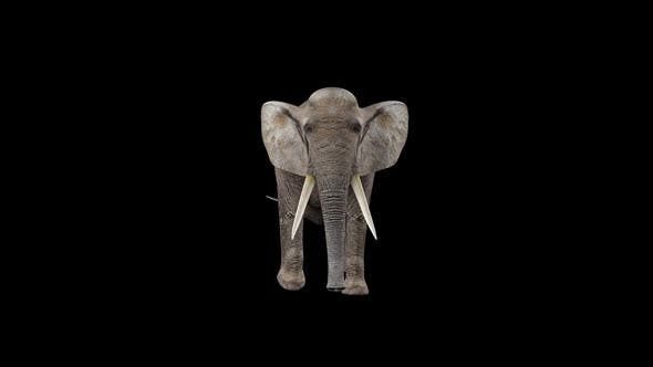 Elephant Walk Fast