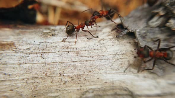 Cover Image for Big Red Ants in an Anthill in a Pine Forest
