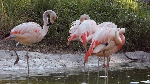 Flamingos in small pond grooming themselves