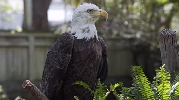 American Bald Eagle Close Up