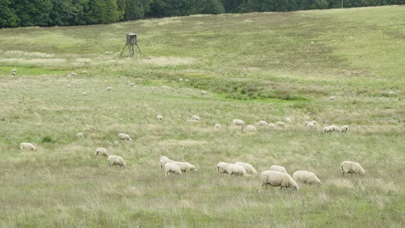 Thumbnail for Sheep Eat in a Green Field, Tree House in the Background.
