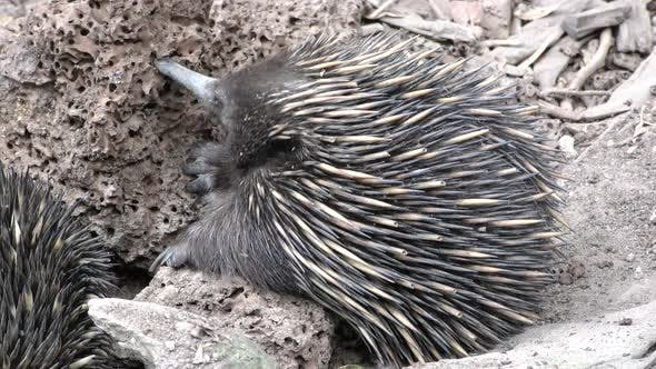 Thumbnail for Short-beaked Echidna Adult Lone Eating Feeding Tongue