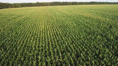 Young Corn in the Field Aerial View