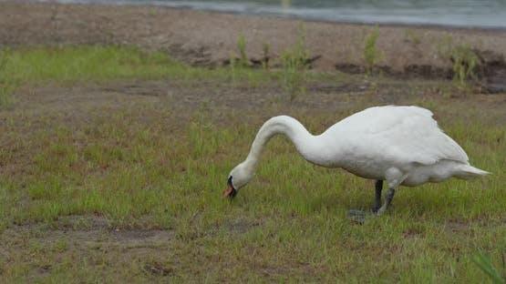 Swan Eat Grass on The Grass