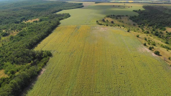 Thumbnail for Aerial Drone View of Sunflowers Field. Rows of Sunflowers on a Hill