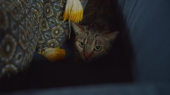 Thumbnail for Scared Cute Tabby Katze versteckt sich auf Sofa