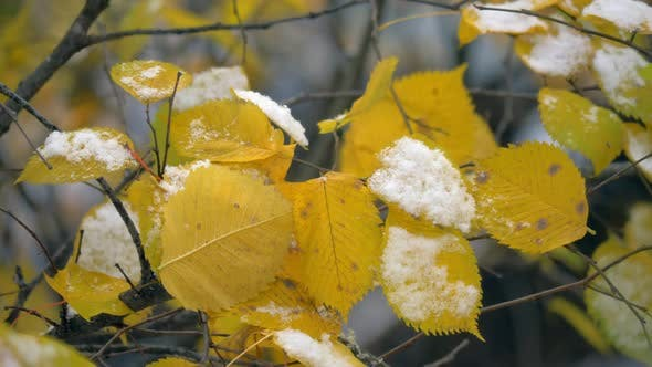 Thumbnail for First Snow on Dry Yellow Leaves of the Tree. Autumn Scene