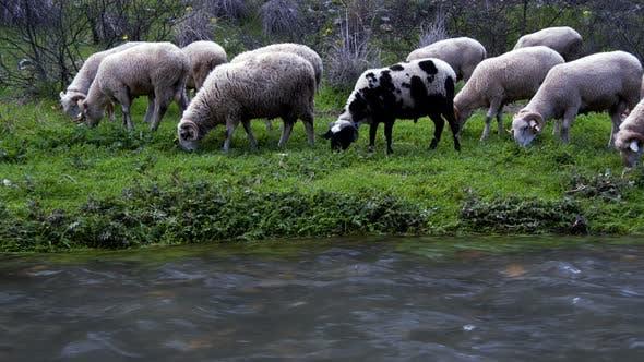 Thumbnail for The Mammal Animal Sheep Near The River 1