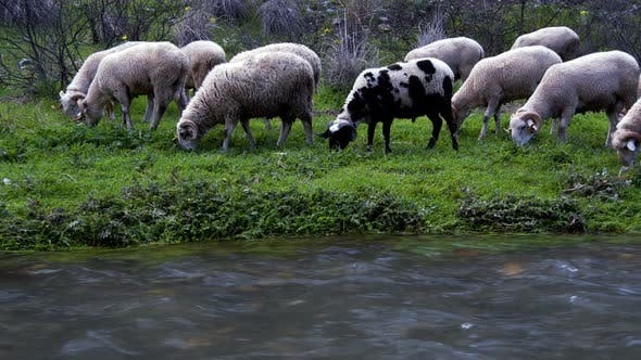 The Mammal Animal Sheep Near The River 1