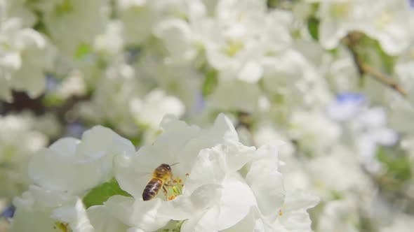 Thumbnail for Bee and Apple Flowers