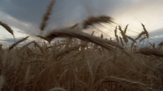 Thumbnail for Sunset Over the Wheat Field