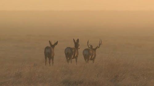 Mule Deer Buck Doe Adult Several Walking Moving in Autumn Dawn Morning Trophy Antlers Orange Sky