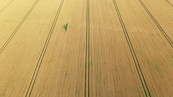Aerial Video Flying Over Yellow Grain Wheat Field