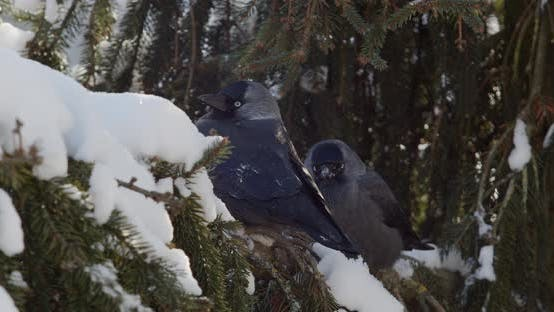 Two crows are sitting on a snow-covered Christmas tree