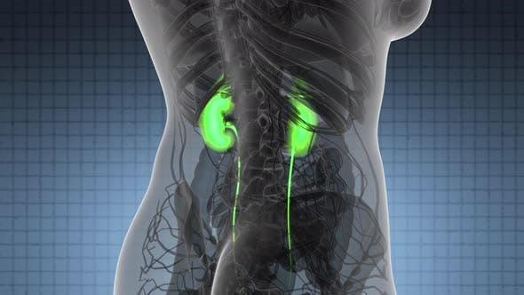 Wissenschaft Anatomie Scan der menschlichen Nieren