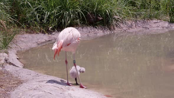 Mother and baby flamingo standing on the edge of a pond