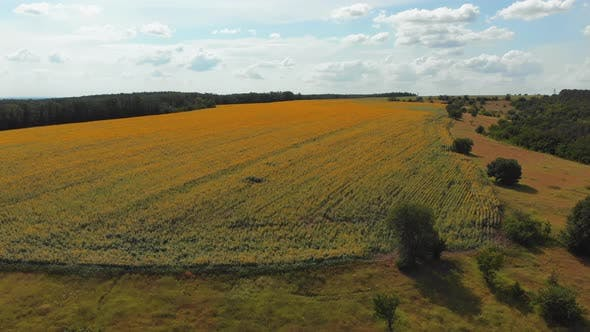 Thumbnail for Aerial Drone View of Sunflowers Field