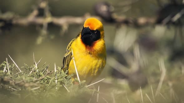 Southern Masked Weaver Calling And Perched On The Thorny Branches Of A Tree In El Karama Lodge Kenya