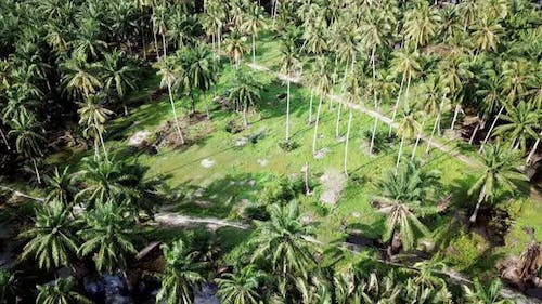 Coconut plantation in hot sunny day at Malaysia, Southeast Asia.