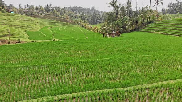 Green Colored Rice Terraces